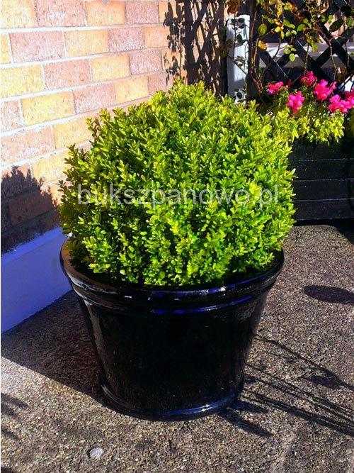 Buxus in a pot