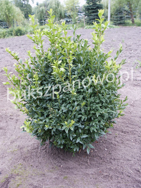 Buxus Ball before trimming